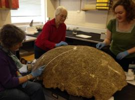 Working with volunteers Mary and Margaret to remove paint from the glyptodon carapace