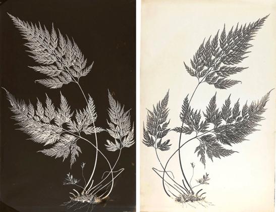 P.12498-R and P.12499-R. Bory's Spleenwort (Asplenium onopteris). Images ©Fitzwilliam Museum, University of Cambridge