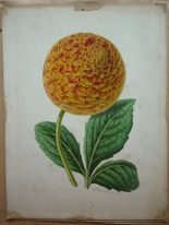 One of four original paintings in the archive by botanical artist James Andrews (1801-1876)